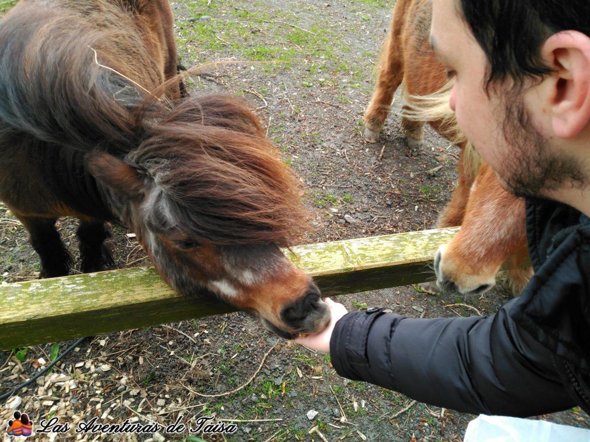 Hof Iggenwarden - Dando de comer a los ponys 2